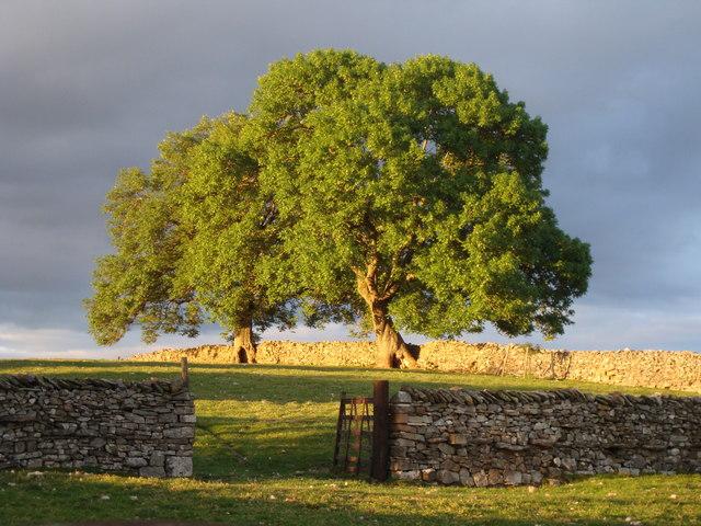 Trees at Townhead, Ravenstonedale