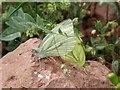 SX9370 : Butterflies mating by Derek Harper