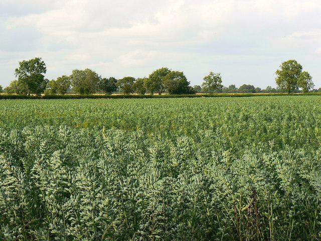 Bean field, near Driffield