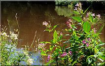 J3470 : Wildflowers, Lagan towpath, Belfast by Albert Bridge