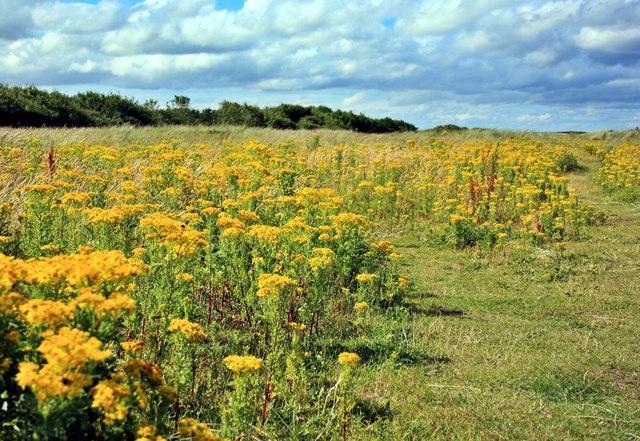 Wild Flowers, Druridge Links