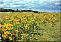 NZ2796 : Wild Flowers, Druridge Links by Paul Buckingham