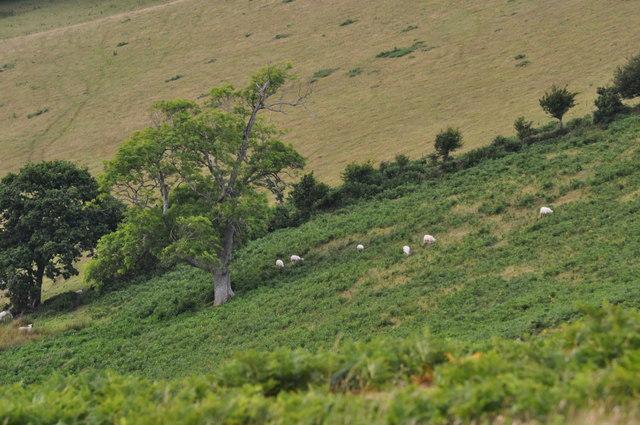 East Devon : Sheep on Peak Hill