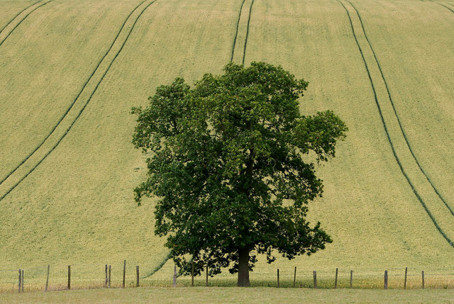 Tree and tracks in a wheat field