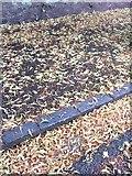 SX9065 : Fallen lime flowers, Torre by Derek Harper