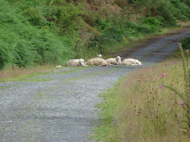 Sheep on the track
