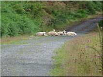 SH8112 : Sheep on the track by liz dawson