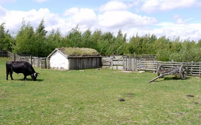 Dexter cattle, hut and Anglo-Saxon cart, Bede's World