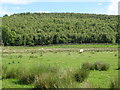 NY6858 : Pastures and Beaconhill Plantation (2) by Mike Quinn