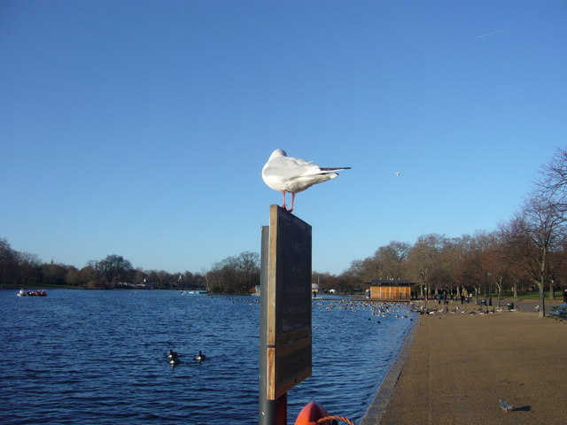 Seagull at the Serpentine at Hyde Park