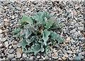 SD1671 : Sea kale [Crambe maritima] by Simon Huguet