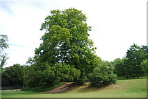 TG1908 : Tree, Earlham Park by N Chadwick