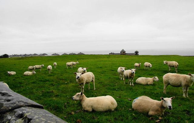 Sheep grazing on Alavna by Bill Boaden