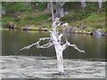 NH9506 : Ghost-like tree in the lochan near to Rothiemurchus Lodge by Peter S