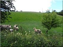 C1009 : Sheep, Rashedoge by Kenneth  Allen