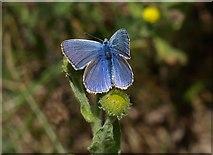 SX9066 : Butterfly on fleabane, Barton tip by Derek Harper