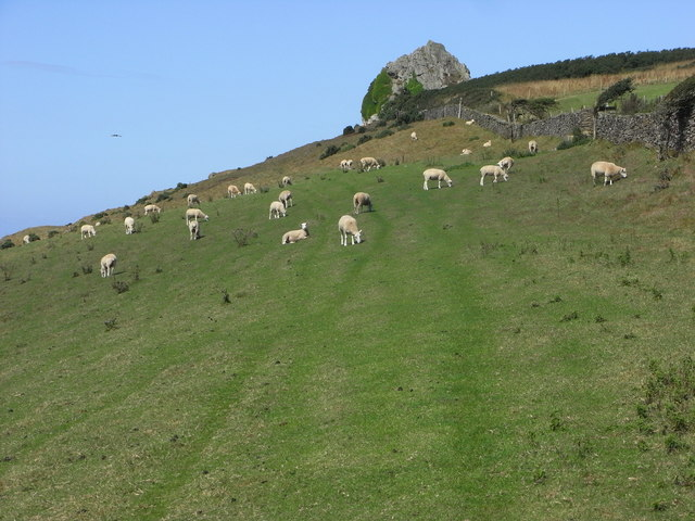Grazing sheep and St Anchorite's Rock
