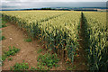 SO5895 : Wheat field near Black Barn Farm by David Lally