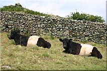 SD3683 : Cows near Hard Crag by Elizabeth Johnson