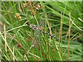 SX6281 : Dragonfly near Sandy Hole Pass by Derek Harper