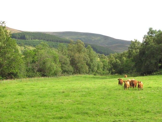 Cattle, Glen Muick