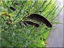 H5172 : Broom pods, Edenderry Road by Kenneth  Allen