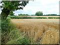 SK2432 : Mature wheat crop by Jonathan Billinger