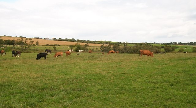 Grazing cattle north of the old Capel Peniel