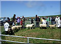 SN0641 : Nevern Show: junior sheep class by ceridwen