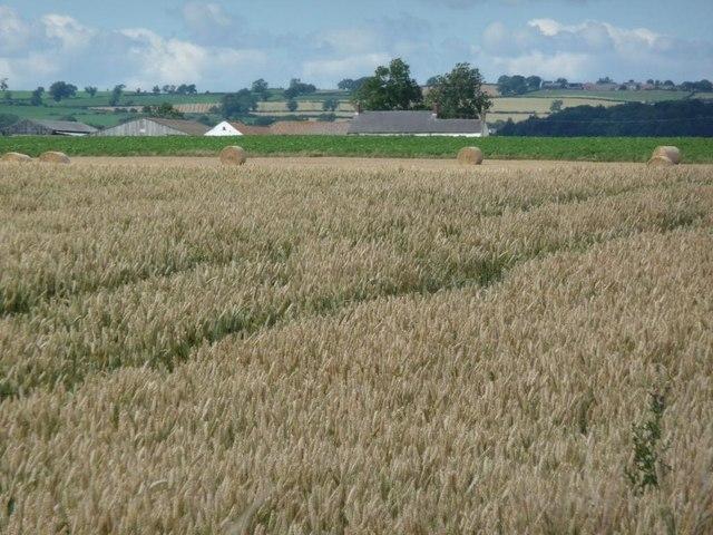 'Swiss rolls' by a wheat field