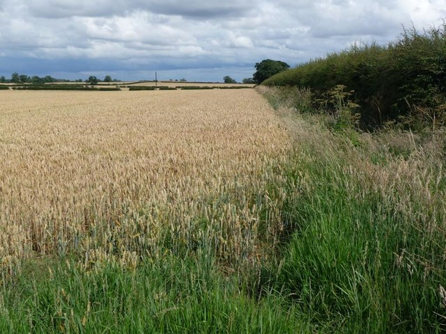 Corner of a wheat field