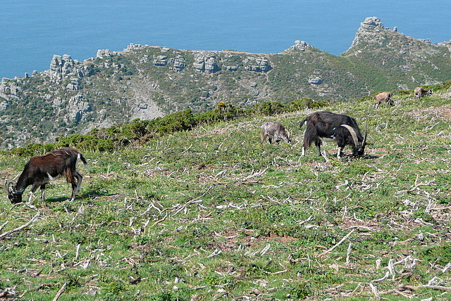Goats above Valley of the Rocks