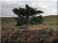 NZ6507 : Pine tree at Sloethorn Park by Colin Grice