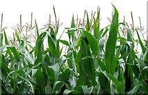 J2865 : Maize, Hilden by Albert Bridge