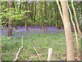 SU9999 : Bluebells in Frith Wood by michael