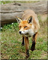 TQ3643 : Fox at the British Wildlife Centre, Newchapel, Surrey by Peter Trimming