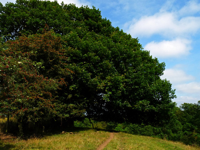 Spreading Oak Tree over the footpath above West Gill