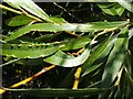 NS3975 : Leaf galls on white willow by Lairich Rig