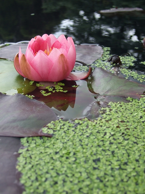 Water Lilly at Bodnant garden