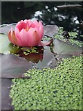 SH7972 : Water Lilly at Bodnant garden by Kev Griffin