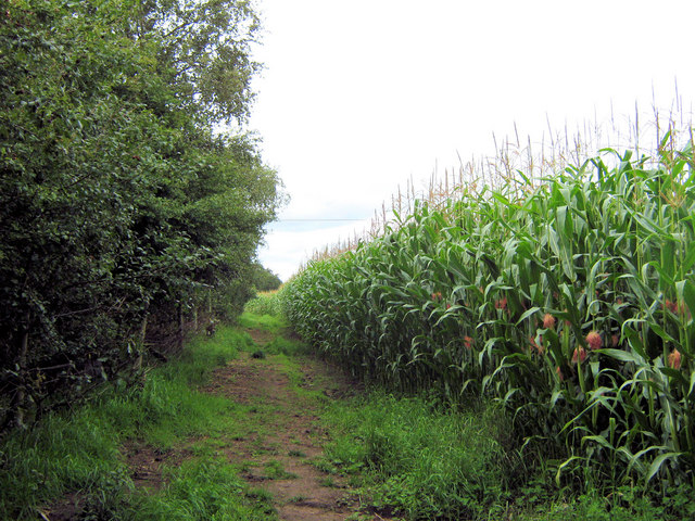 Footpath by the Maize crop (1)