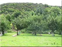 R6547 : Sheep in orchard near Brufea by David Hawgood