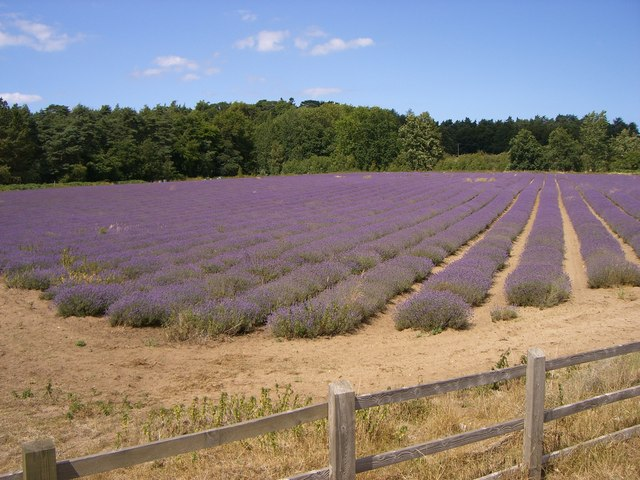 Lavender Field at Snettisham
