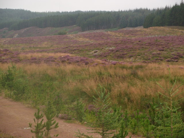 Heather regenerated on clear fell in Abriachan Forest