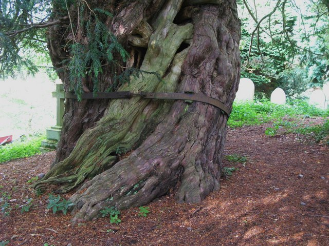 St. Cuthbert's Church, Beltingham - old yew tree in graveyard (4)