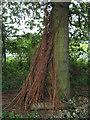 SJ7965 : Sheaves of Willow whips by Jonathan Kington