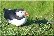 HU4007 : Sumburgh Head Puffin by Colin Smith
