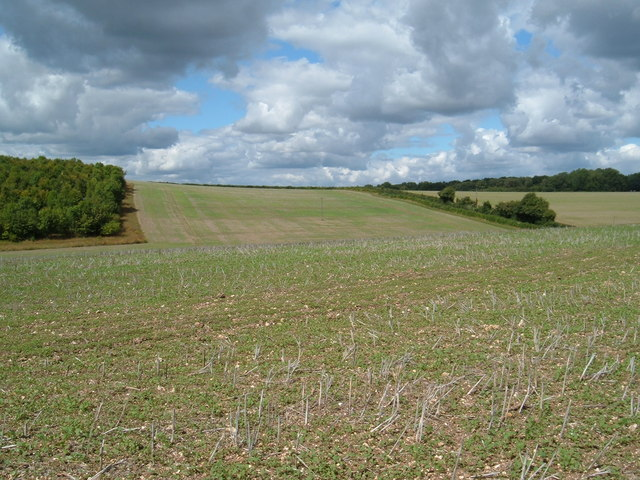 Barley field on Windmill Down