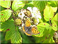 R6441 : Small copper butterfly on brambles at Lough Gur by David Hawgood