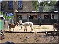 TQ3078 : Luma having a bad hair day in Vauxhall City Farm by PAUL FARMER